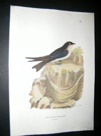 Shaw C1800's Antique Hand Col Bird Print. Esculent Swallow